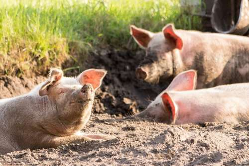 Pigs Cute Funny Dirty Animals Happy Face