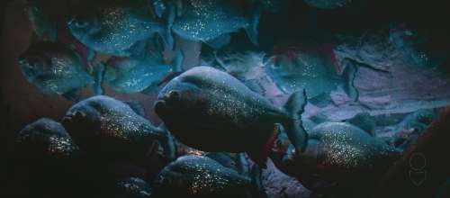 Piranas Fish Piranha Sea Water Aquarium