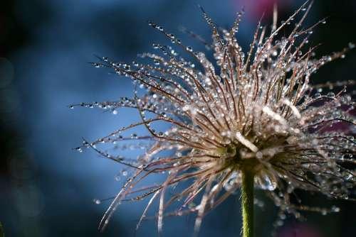 Plant Dewdrop Dew Pasqueflower Beaded Raindrop