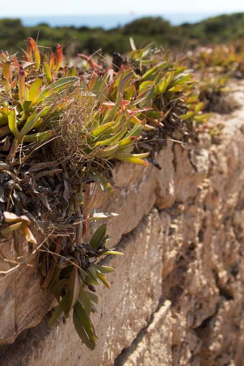 Plant Wall Weed Spain Mallorca Sea Nature