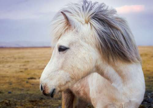 Pony Horse Iceland Animal Cute Landscape Farm