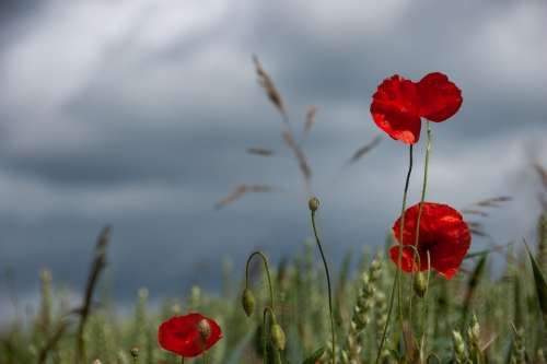 Poppies Sky Nature Poppy Flower Red Clouds