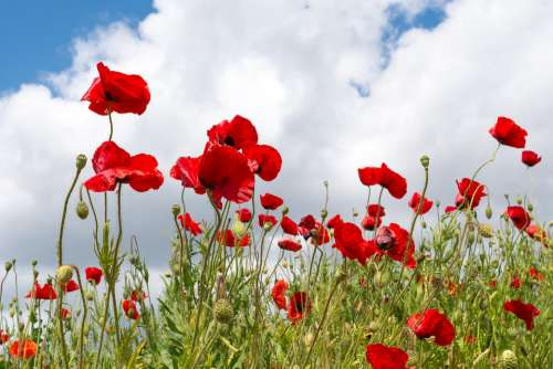 Poppies Red Flower Flowers Plants Poppy Green