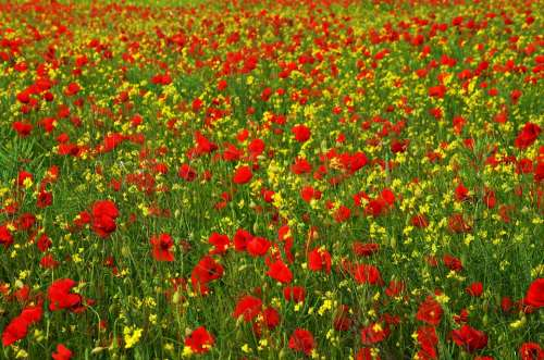 Poppy Rape Red Yellow Field Meadow Wildflower