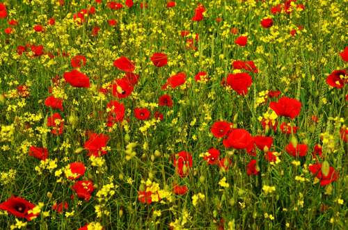 Poppy Rape Red Yellow Field Meadow Wildflower