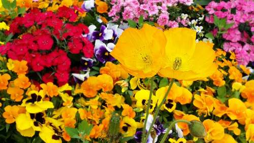 Poppy Pansy Flowers Plants Spring Garden Nature