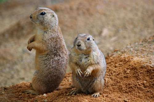 Prairie Dogs Rodents Couple Sitting Funny Animal