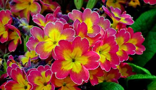 Primula Flowers Colorful Spring Garden Nature
