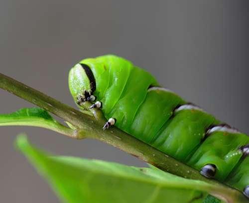 Privet-Hawk-Moth Caterpillar Green Horn Tail