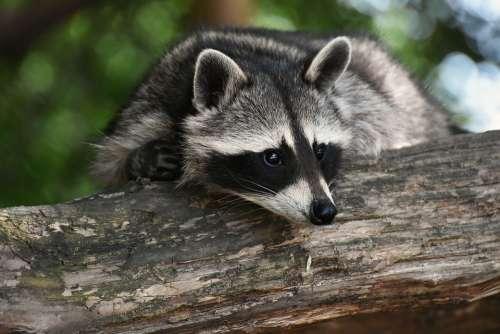 Raccoon Wild Animal Furry Mammal Sweet Nature