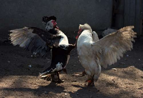 Rate Struggle Male Birds Domestic Yard
