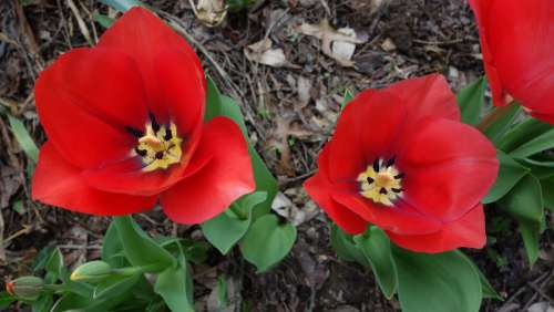 Red Tulips Open Bloom Nature Spring Flower