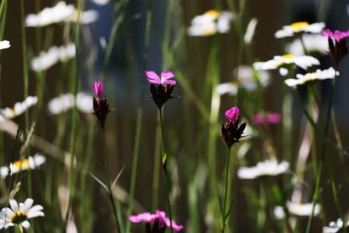 Red Campion Pink Flower White Magerite Wild Meadow