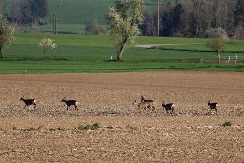 Red Deer Roe Deer Wild Animal