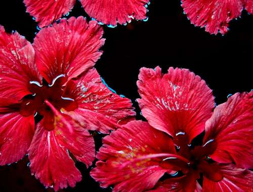 Red Flowers Floating Water Red Flower Nature