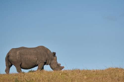 Rhino Safari Africa Animal World Mammal Wild