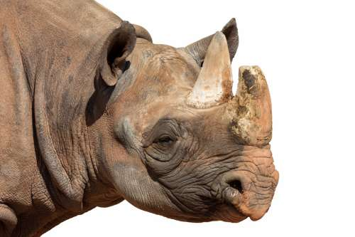 Rhino Animal Africa Animal World Pachyderm Panzer