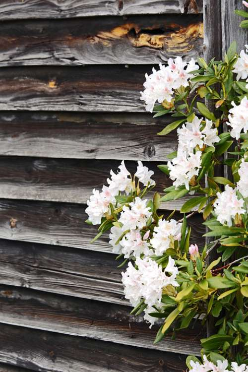Rhododendron Wooden Wall Spring Garden Nature