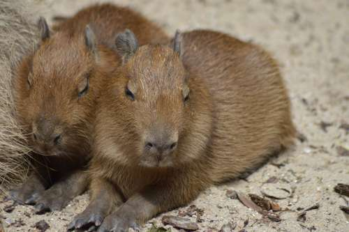 Rodents Babies Capybara Cute Fur Small Animals