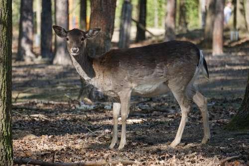 Roe Deer Forest Nature Wild Animal Animal World