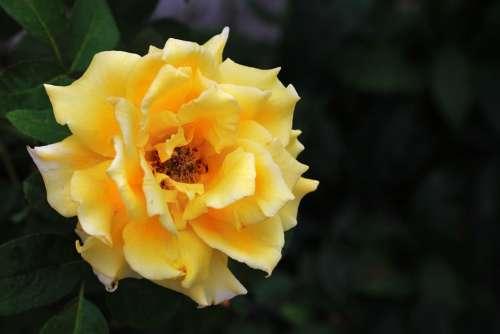 Rosa Yellow Flower Roses Plant Romantic Love