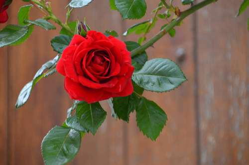Rose Red Blossom Bloom Beauty Romantic