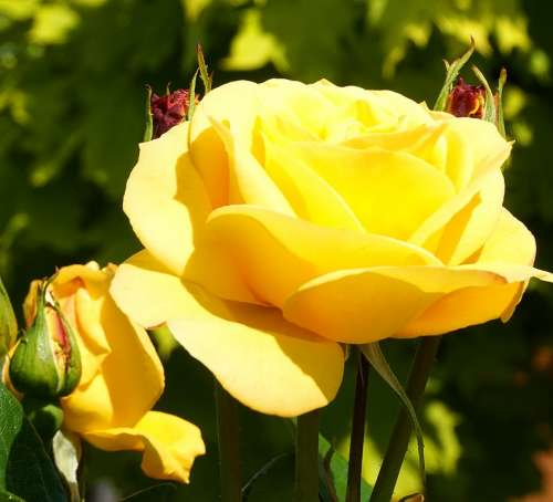 Rose Yellow Blossom Bloom Flower Nature Floral