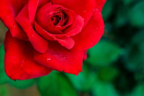 Rose Flower Red Red Rose Romance Roses Floral