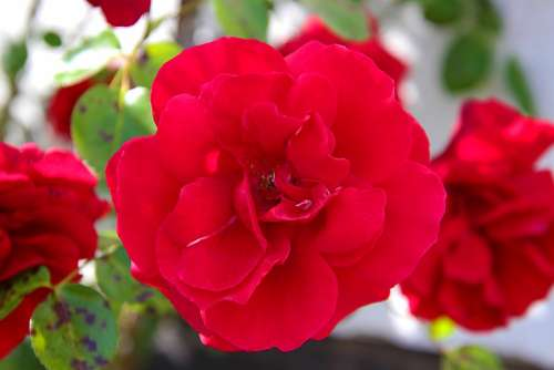 Rose Flower Blossom Bloom Nature Romantic Love