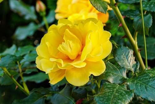 Rose Portrait Flower Petals