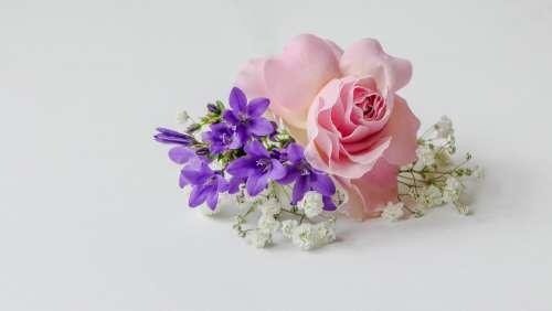 Rose-Flower Rosé Bellflower Gypsophila