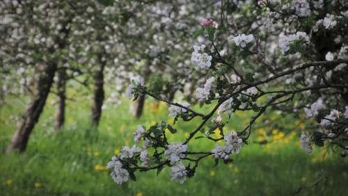 Sad Fruit Trees Apple White Flowering Petal Boost
