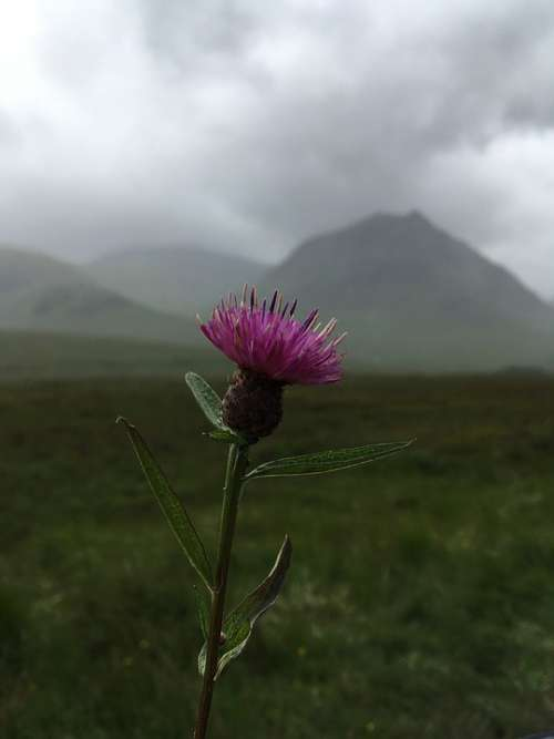 Scotland Thistle Scottish Flower Nature Purple