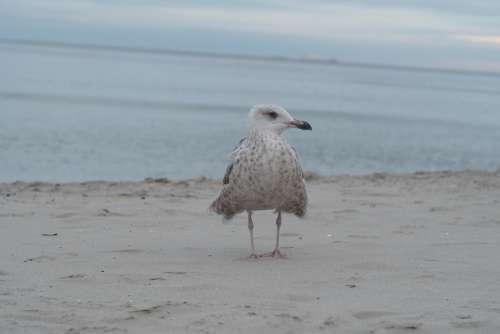 Seagull Sea Bird Ocean Sky The Baltic Sea Beach
