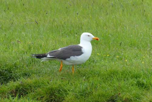 Seagull Bird Feathers Nature Grassland Polder