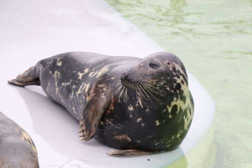 Seal Robbe Meeresbewohner North Sea Water Mammal