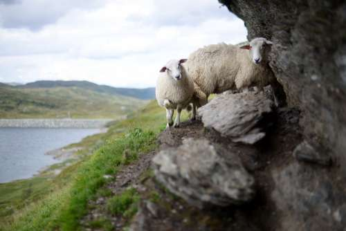 Sheep Norway High Landscape Nature Rock