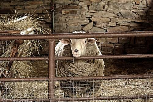 Sheep Animal Brown Agriculture Wave Farm Animals