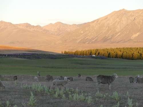 Sheep Sunset Mountains Wilderness Farm Evening
