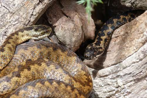 Snakes Adders Reptiles Slither Venomous Curled