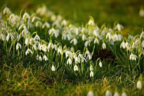 Snowdrop Flower Plant Winter Bloom Herald Of Spring