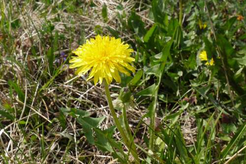 Sonchus Oleraceus Weed Plant Nuns Spring Meadow