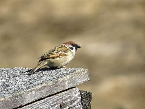 Sparrow Bird Plumage Nature Spring Sitting