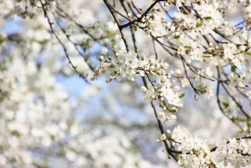 Spring Flowers Plant Garden Nature Cherry Petals