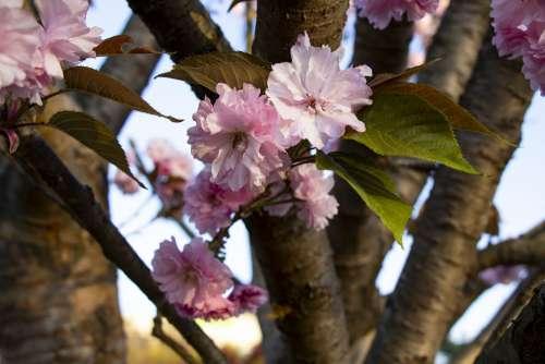 Spring Yoshino Cherry Flowers Cherry Blossom Wood