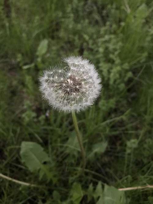 Spring Grass Plant Pollen