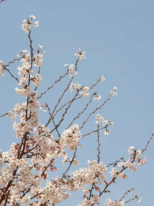 Spring Cherry Tree Flowers Cherry Blossom Nature