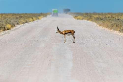 Springbok Antelope Africa Animal Namibia Nature