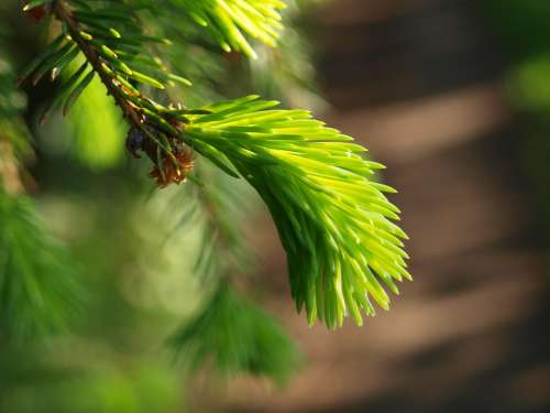 Spruce Tree Nature Forest Evergreen Green Conifer