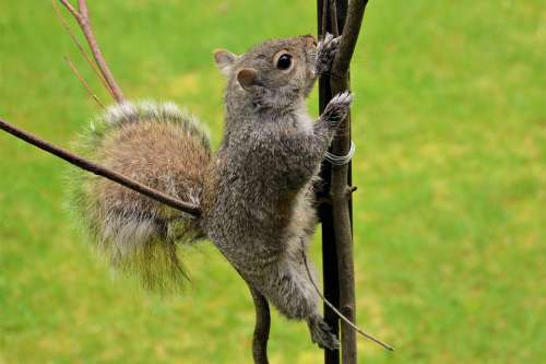 Squirrel Young Climbing Grasping Pole Furry